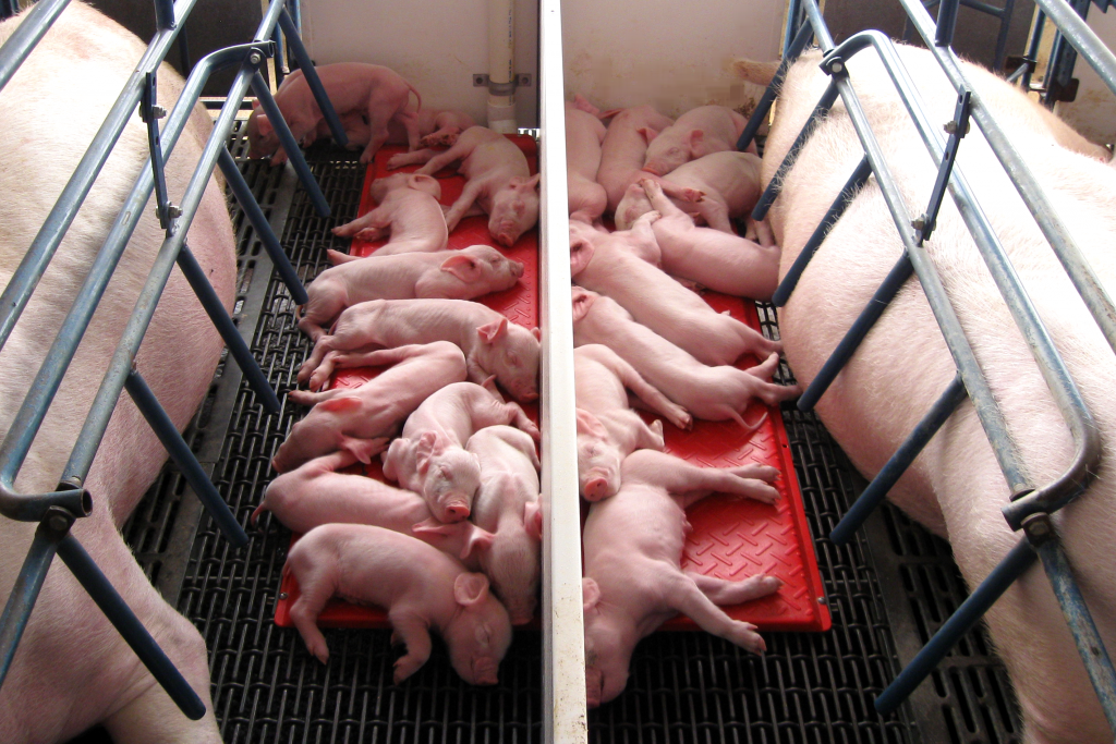 Piglets on Heat Mats